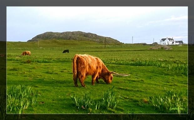 Aberdeen Angus Iona